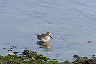 Dunlin (Calidris alpina) forages for food along the shore of Penn Cove, Washington State.