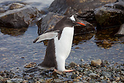 Cuverville Island, Antarctic Peninsula.  Nesting pairs on the Gentoo penguin colony on the island tend their eggs and chicks. They have to be vigilant to ward off skua birds that try to eat the eggs and chicks. The penguins swim to catch food for themselves and their chicks several times a day.