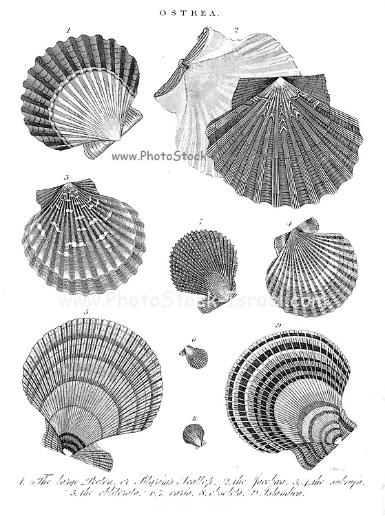 Ostrea shells. Ostrea is a genus of edible oysters, marine bivalve mollusks in the family Ostreidae, the oysters. Copperplate engraving From the Encyclopaedia Londinensis or, Universal dictionary of arts, sciences, and literature; Volume XVIII;  Edited by Wilkes, John. Published in London in 1821