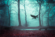 Crow landing - rainy and misty morning in a park in fall