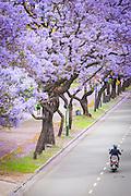 Motorbike drives past Blossoming Jacaranda trees, Buenos Aires, Argentina, South America