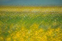 Meadow buttercup (Ranunculus acris), Piano Grande/Sibillini National Park, Italy; WWoE Mission