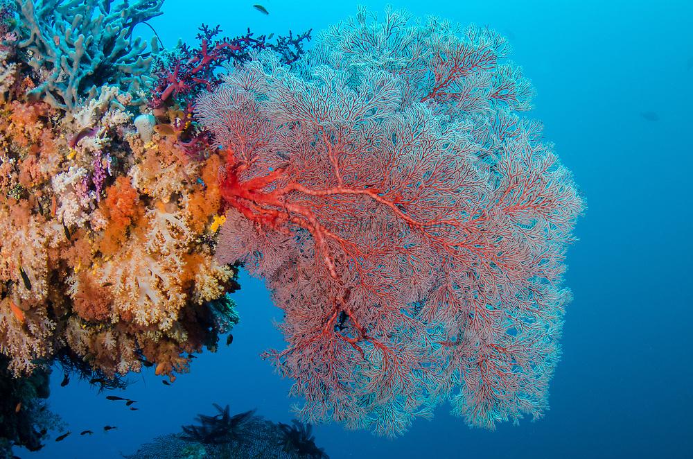 Sea Fan (Gorgonia)<br /> Raja Ampat<br /> West Papua<br /> Indonesia