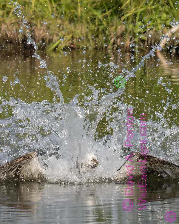 Osprey emerges within the big splash it made when diving for a fish, © David A. Ponton