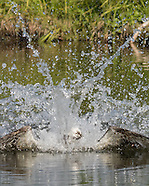 OSPREY ACTION AND ECOLOGY