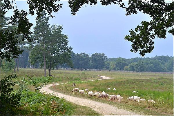 Nederland, the netherlands, Molenhoek, 15-8-2015Een kude schapen graast in het natuurgebied tussen Molenhoek, Mook en Groesbeek.FOTO: FLIP FRANSSEN/ HOLLANDSE HOOGTE