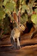 Black-tailed Jackrabbit (Lepus californicus) Amado, Arizona<br /> animals<br /> wildlife<br /> mammals<br /> rabbit<br /> hare