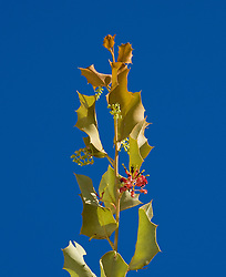 A Holly leafed Grevillea (Grevillea wickhamii) grows on the rocky fringes of Silica Beach on the Kimberley coast.