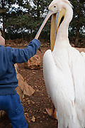 Toddler with a pelican at a petting corner in a children's zoo