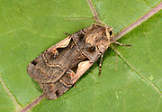 Close-up of a Setaceous Hebrew character moth (Xestia c-nigrum) resting on a leaf in a Norfolk garden in summer