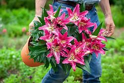 Carrying a pot of Lilium 'Stargazer' - Lily