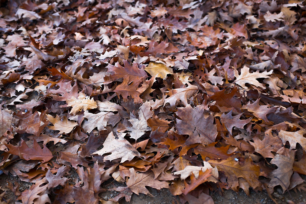 """A pile of Autumn oak leaves, Catalonia This mage can be licensed via Millennium Images. Contact me for more details, or email mail@milim.com For prints, contact me, or click """"add to cart"""" to some standard print options."""