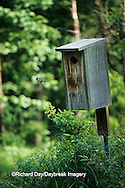 00715-00317 Wood duck (Aix sponsa) ducklings leaving nest box    IL