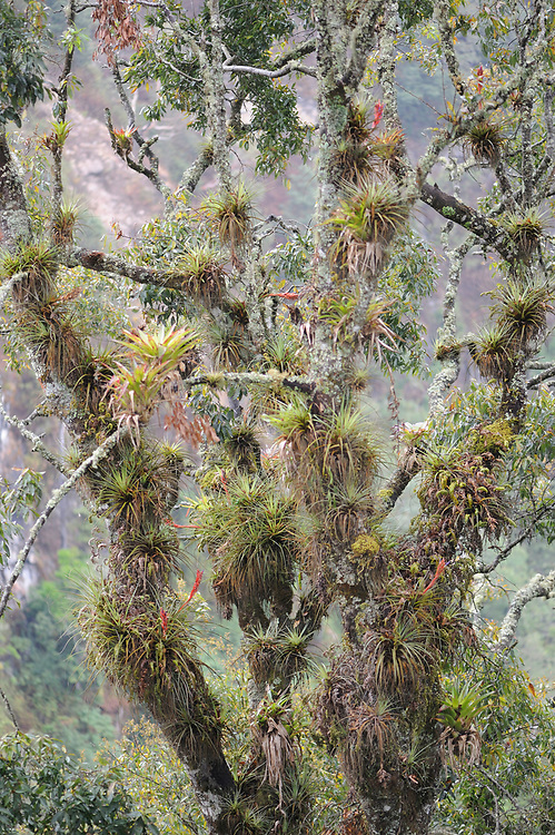 Epiphytes including mosses, lichens, orchids and bromeliads, grow on a tree in the Pacific cloud forest in the western highlands of Guatemala. Parque Ecologico Regional Chuirxmola, Santa Clara la Laguna , Departamente de Sololá, Republic of Guatemala. 07Mar14