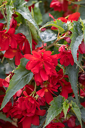 Begonia F1 Funky Red