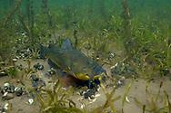 Black Bullhead (male guarding nest of eggs)<br /> <br /> Engbretson Underwater Photography