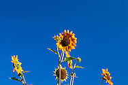 Sunflowers (Helianthus annuus) in a garden against a blue-sky backdrop. WATERMARKS WILL NOT APPEAR ON PRINTS OR LICENSED IMAGES.