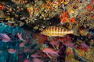 Comber fish-Serran-chèvre (Serranus cabrilla)