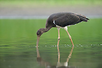 Mission: Black Storks River Elbe Germany; Biosphärenreservat Niedersächsische Elbtalaue; Schwarzstorch; Black Stork; Ciconia nigra; juvenil; Biosphere Reserve Middle Elbe. digitally cleaned.