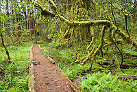 Trail winds through Ancient Groves, Olympic National Park, Washington.