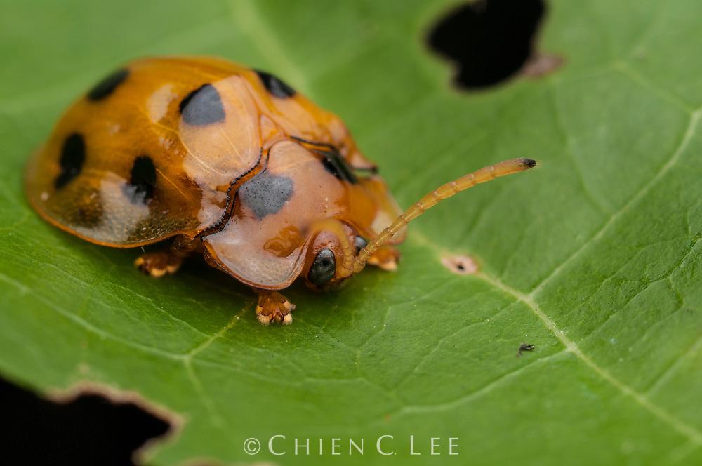 Tortoise beetle (Basiprionota decempustulata). Sarawak, Malaysia (Borneo).