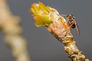 Oak apple gall wasp (Biorhiza pallida?) laying eggs on oak (Quercus sp.)
