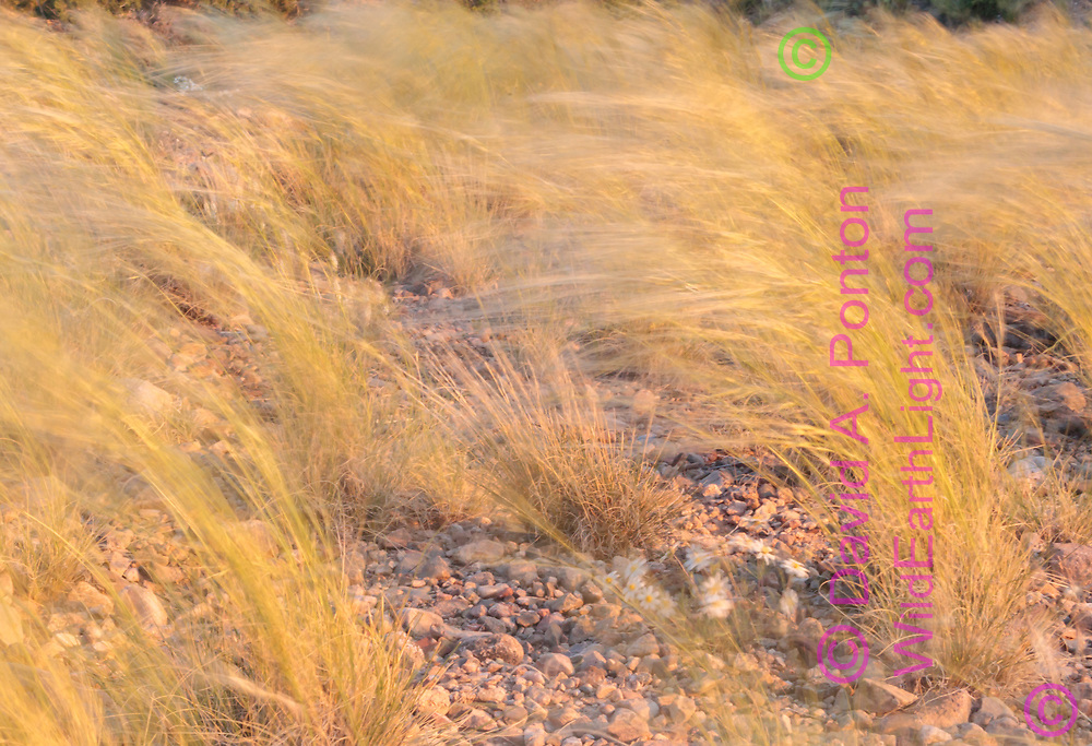 Wild grass is bent over by wind, forming a directional pattern, foothills on the west side of the Sandia Mountains, NM, © David A. Ponton