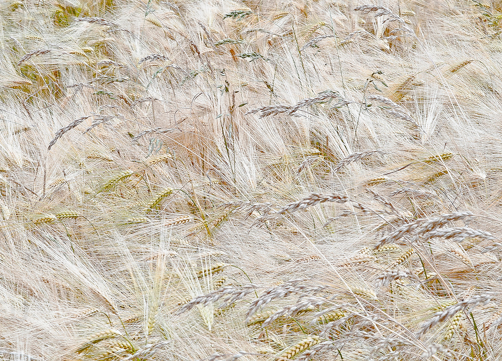 wheatfield (detail).<br /> Wheat is a cereal grain. In 2010 world production of wheat was 651 million tons, making it the third most-produced cereal after maize (844 million tons) and rice (672 million tons).