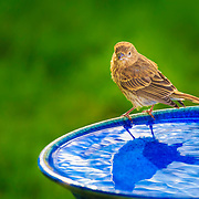 Female house finch shows fluffed feathers defined by sunlight after an evening bath.