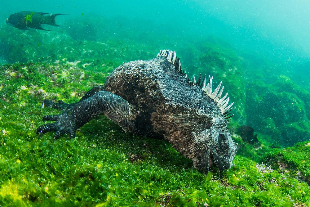 Marine Iguana (Amblyrhynchus cristatus) <br /> Fernandina Island<br /> Galapagos<br /> Pacific Ocean<br /> Ecuador, South America<br /> ENDEMIC TO THE ISLANDS
