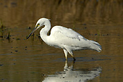 Little egret, Egretta garzeta, Limpopo, South Africa, common throughout Southern Africa except the Kalahari Limpopo, South Africa, common throughout Southern Africa except the Kalahari