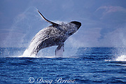 humpback whale, Megaptera novaeangliae, breaching, Maui, Hawaii ( Central Pacific Ocean ); caption must include notice that photo was taken under NMFS research permit #587