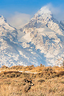 A nice buck under the Grand Tetons in Jackson Hole Wyoming