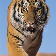Tiger on coral sand dunes in Utah. Captive Animal  ***NON EDITORIAL USE ONLY***