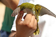 Researcher rings a passerine bird. Photographed in Israel