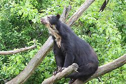 THEMENBILD - Der Brillenbär oder Andenbär ist eine Raubtierart aus der Familie der Bären. Er lebt als einziger Bär in Südamerika und nimmt auch systematisch eine Sonderstellung ein, da er der einzige überlebende Vertreter der Kurzschnauzenbären ist, aufgenommen am 19.05.2019 im Tiergarten Schönbrunn in Wien, Österreich // The spectacled bear or Andean bear is a predator species from the bear family. He lives as the only bear in South America and also systematically occupies a special position, as he is the only surviving representatives of the short-nosed bear, pictured on 2019/05/19 at the Tiergarten Schönbrunn at Vienna, Austria. EXPA Pictures © 2019, PhotoCredit: EXPA/ Lukas Huter
