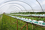 Strawberry plants growing in compost in a polythene fruit tunnel in Gloucestershire, England, United Kingdom