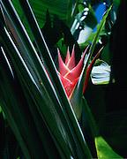 Heliconia, Heliconia Purpurea<br />