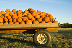 Flatbed truck loaded with pumpkins at sunset