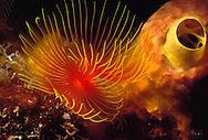Yellow Boring Sponge (Siphonodictyon coralliphagum) and Serpulid Tubeworm (Ponastegus stellatus). Saba