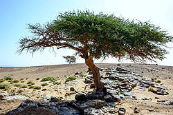 Trees survive and grow on a rocky outcrop in the Moroccan Sahara Desert<br /> <br /> (c) Andrew Wilson | Edinburgh Elite media