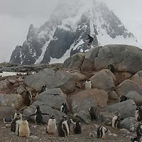 A skua flies over Gentoo Penguins on Petermann Island, Antarctica. Behind is a mountain on the Antarctic Peninsula