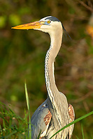 Arthur C Marshall Wildlife Reserve, Loxahatchee, Florida. Great Blue Heron