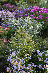 Borders of asters with Aster 'Ringdove' (ericoides hybrid) (foreground), A.ericoides 'Silver Queen' (middle) and Aster novae-angliae 'Quinton Menzies' (right)