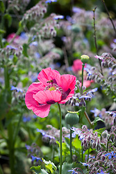 Opium poppy with borage