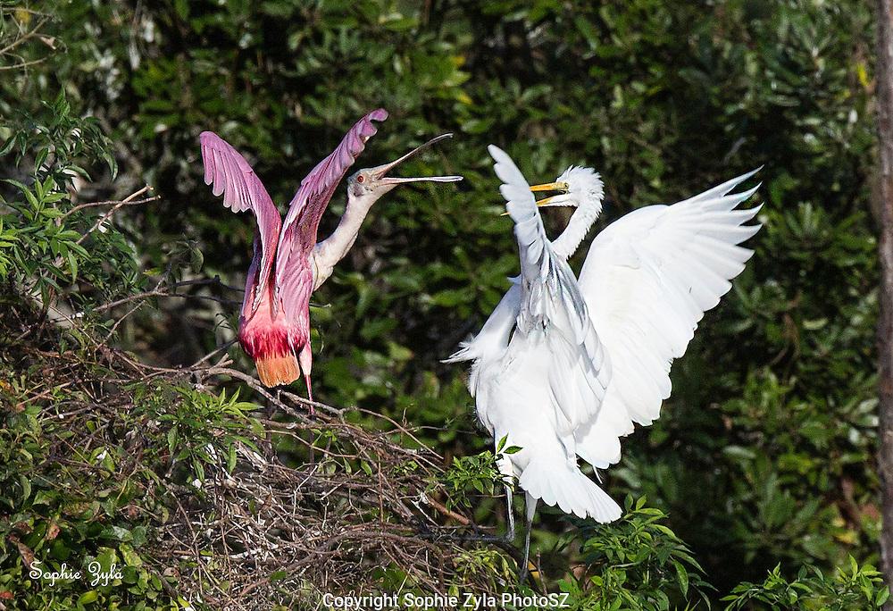 Turf Spat between Roseate Spoonbill and Great Egret