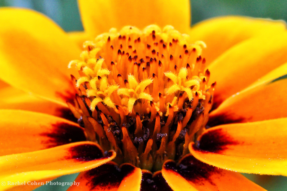 """""""I Am""""<br /> <br /> This floral macro simply makes a statement, and this is """"I Am""""<br /> Beautiful and deep colors of yellow, red, and maroon!! A star filled image!!<br /> <br /> Flower and floral images by Rachel Cohen"""