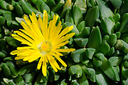 Close-up of a single yellow flower of Delosperma congestum growing in West Acre Gardens in Norfolk