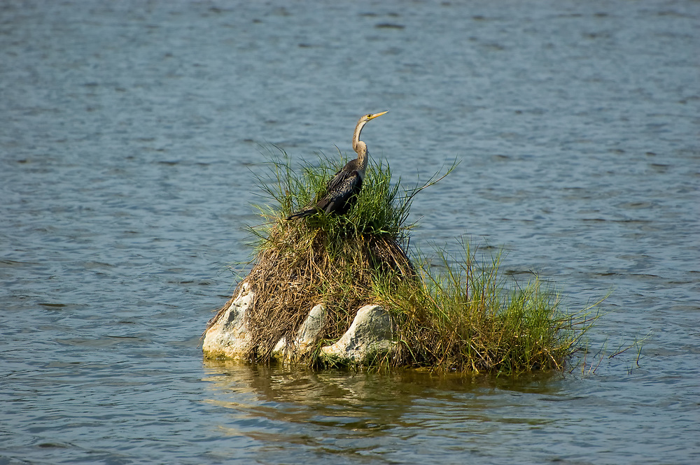 Rocks, cypress stumps and other watery perches are the perfect place for anhingas to keep an eye out for fish, and to stay relatively safe from hungry alligators, crocodiles, wildcats and larger birds of prey. This adult female was photographed from the shore of a lake in Fort Myers, Florida.