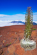 Haleakala Silversword plant, Haleakala National Park, Island of Maui, Hawaii